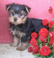 Most Adorable Yorkie Puppies For Sale