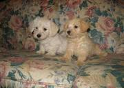 Exotic Mini poodle puppies for a good home