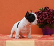 French Bulldog male and female now for pets lovers