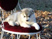 SIBERIAN HUSKY FOR ADOPTION