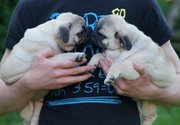 Cute and Lovely Pug Puppies For Adoption. Call Or Text  435-915-7863