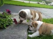 AKC Pointing English Bulldog puppies looking for new homes